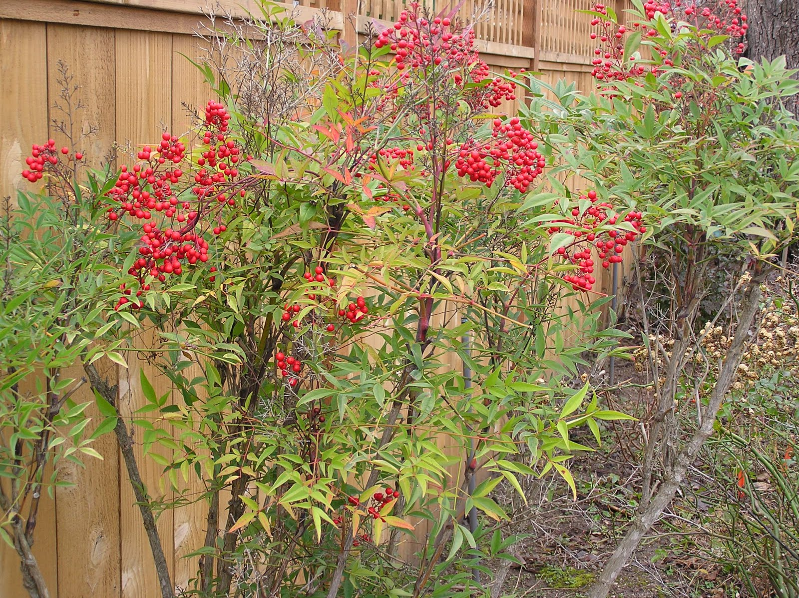 Landscaping Shrubs With Red Berries : October ashland garden club page