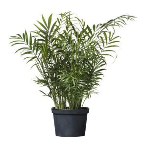 """Chamaedorea elegans """"Parlor Palm"""""""