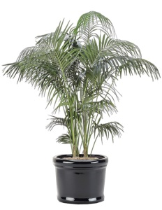 "Howeia forsteriana ""Kentia Palm"""