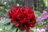 Rhododendron_'Black_Magic'_(1)