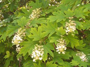 Hydrangea_quercifolia_ Oakleaf