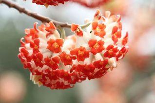 edgeworthia_chrysantha-2014