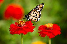 256px-danaus_plexippus-monarch
