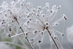frosted-seedhead1