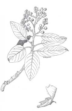 madrone-drawing