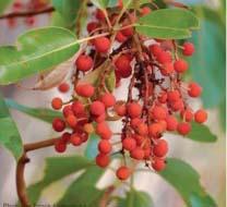 mardone-berries