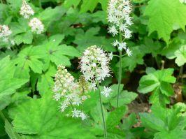 tiarella-cordifolia_-foamflower