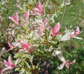 Salix integra Hakuro nishiki