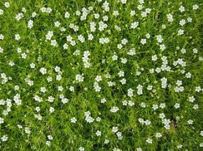 Irish moss Sagina_subulata