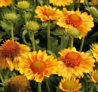 Gaillardia_Gallo_Peach