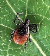 Deer Tick_blacklegged tick
