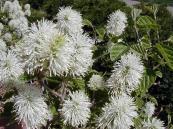 Fothergilla_flower
