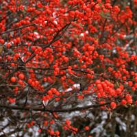 winterberry_Ilex verticillata