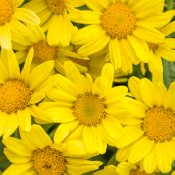 argyranthemum_golden_butterfly_tag