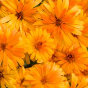 calendula_lady_godiva_orange_tag_