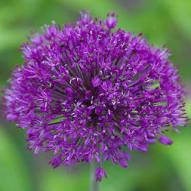 Purple Sensation_Allium