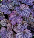 Heuchera_Blackberry Ice