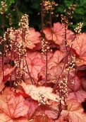 Heuchera_George Peach