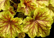 Heuchera_Red Lightning