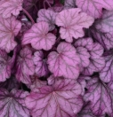 Heuchera_Wild Rose