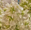 stocks_matthiola_incana_-photo-by-protoplasmakid.jpg