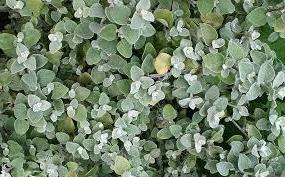 licorice-plant1.jpg